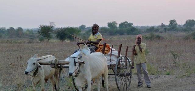 Bullock cart in farm area