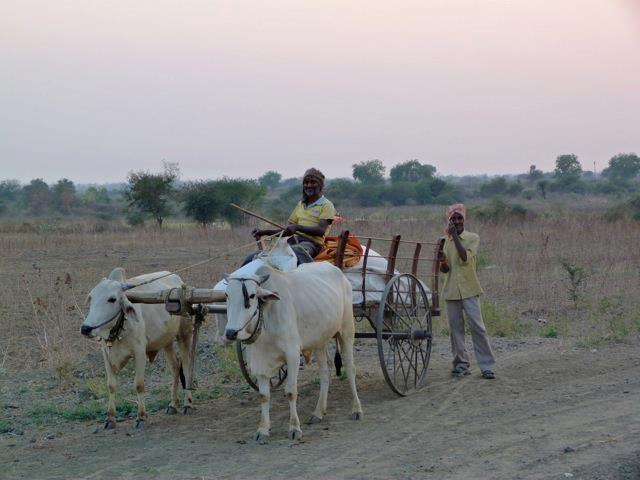 Bullock cart in farm area