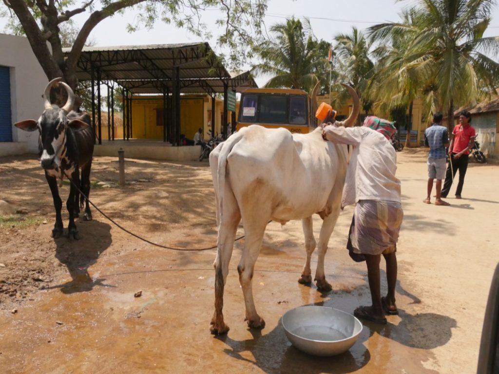 Washing Cattle